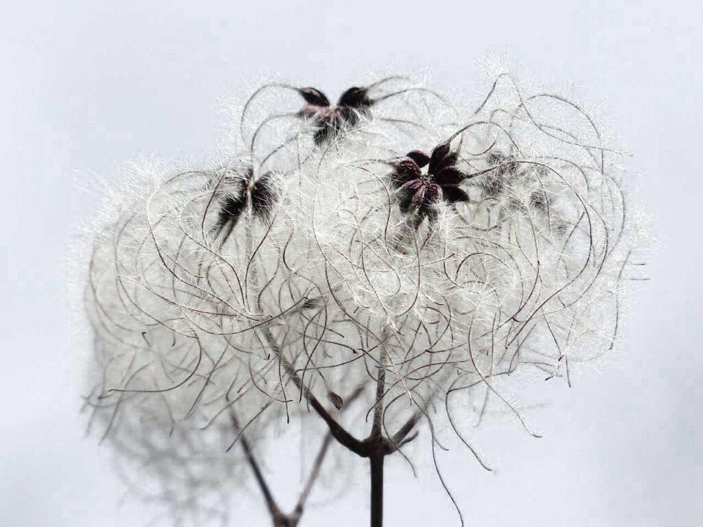 Sobre el algogón flor